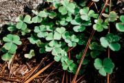 https://www.gambleonline.co/app/uploads/2021/03/4-leaf-clovers-st-patricks-day-1.png